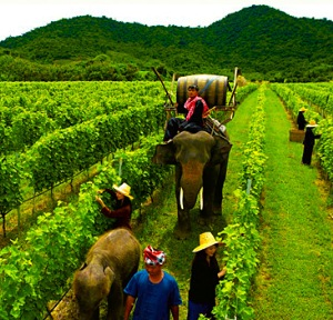 Elephants are used to do the heavy lifting at the Hua Hin Hills vineyard where the grapes are grown for Siam winery